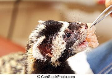 Marbled polecat (Vormela peregusna) feeding by means of tweezers