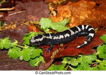 Marbled Salamander - Alabama - A Marbled Salamander...