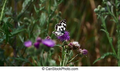Marbled White Butterfly (Melanargia galathea) eating pollen from a purple flower