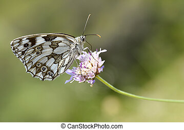 Marbled White butterfly on flower