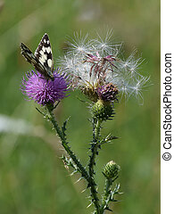 Marbled white butterfly sitting on Curly Plumeless Thistle...