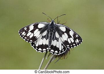 Marbled white, Melanargia galathea, single insect, Midlands...