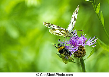 marbled white on a flower of a thistle