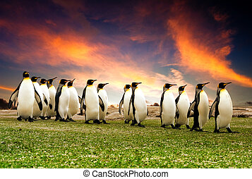 March of the Penguins - King Penguins in the Falkland...