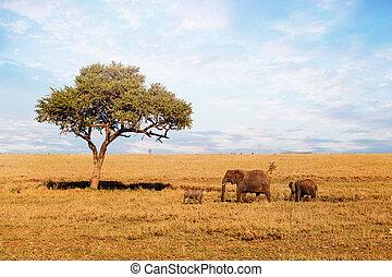 marche, éléphant, savanna., famille, africaine