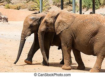 marche, éléphants, parc, deux, safari, route