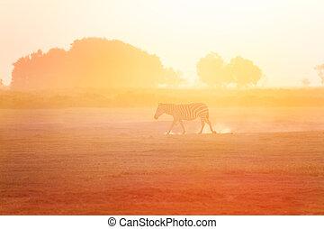 marche, amboseli, afrique, une, zebra, coucher soleil