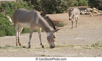 marche, campagne, ensoleillé, deux, pâturage, jour, herbe, ânes, été