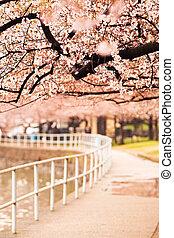 marche, cerise, sur, piste, fleurs, baldaquin