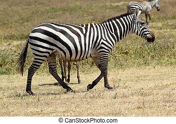 marche, commun, zebra