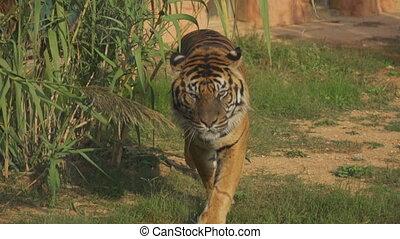 marche, directement, tigre, appareil photo, national, park.