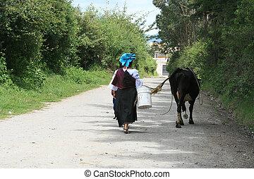 marche, femme, vache, indigène