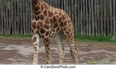 marche, girafe, autour de