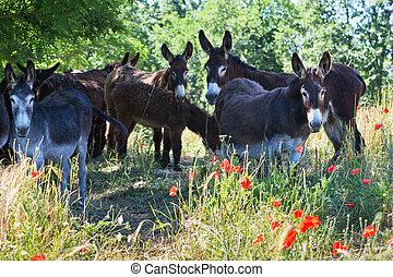 marche, italie, le, ânes, troupeau