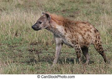 marche, mara, masai, gras, parc, hyène, national