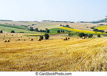 Marches (Ancona, Italy) - Landscape at summer, fields of cereals, sunflowers, farmhouse