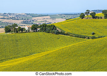 Marches (Italy) - Field of sunflowers