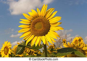 Marches (Italy) - Field of sunflowers near Jesi (Ancona)