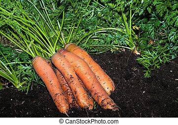 marchew, z, przedimek określony przed rzeczownikami, ogród
