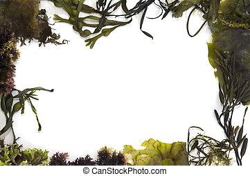 marco, alga