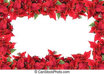 marco, blanco, poinsettias, aislado, navidad