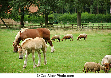 Mare and filly grazing. - A mare grazing with her colt, ...