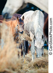 Mare and foal eating hay