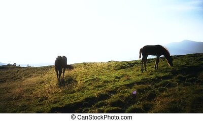 Mare and foal grazing in mountains in late summer or early...