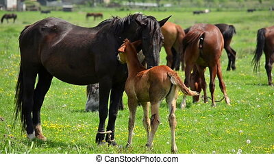 Mare and foal grazing on the grass