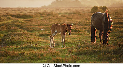 Mare and foal of New Forest pony grazing in landscape lit by...