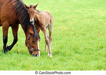 mare and her foal grazing in meadow