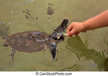 mare, tartaruga hawksbill, figi