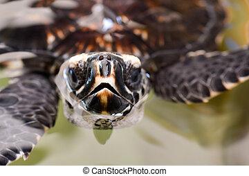 mare, tartaruga hawksbill
