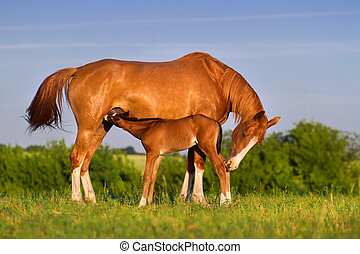 Colt drink milk from mare in pasture