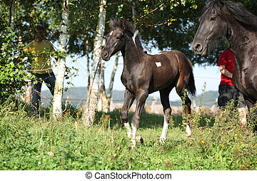 Mare with foal running in autumn - Friesian horse mare with...