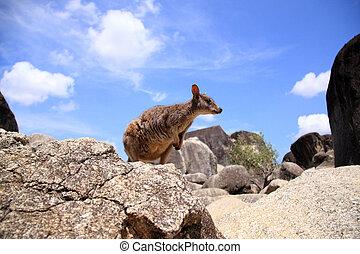 Mareeba Rock Wallaby (Petrogale mareeba) in Cairns, ...