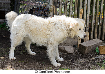 Maremma sheep dog - Beautiful large creamy white maremma ...