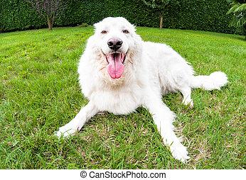 Maremma Sheepdog on the grass in the garden