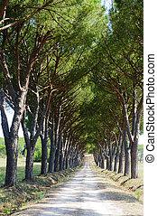 Maremma (Tuscany), road and pines