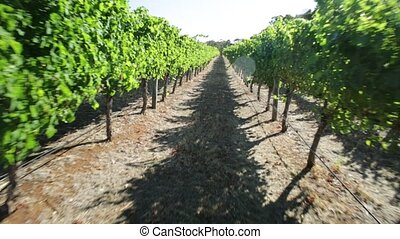 Margaret River Vineyard - POV walking in a vineyard with...