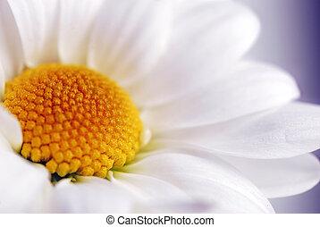 margarida branca, flor