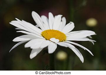 margarida, flor