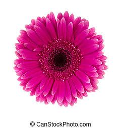 margarida flor, cor-de-rosa, isolado