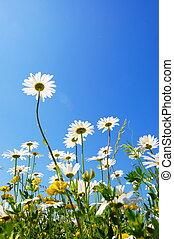 margarida, flor, em, verão