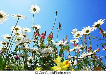 margarida, flor, em, verão, com, céu azul