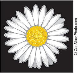 margarida, flor, isolado, ligado, pretas