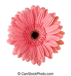 margarida, isolado, flor, cor-de-rosa, branca