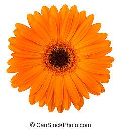 margarida, laranja, isolado, flor, branca