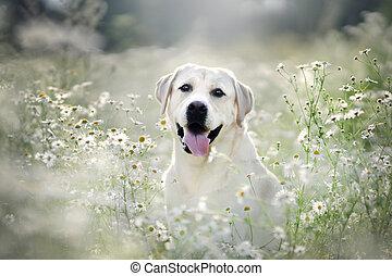 margaridas, campo, dog., labrador