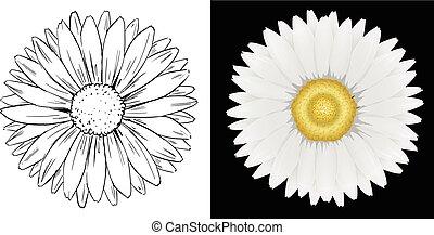 margarita, flor, blanco, y, fondo negro